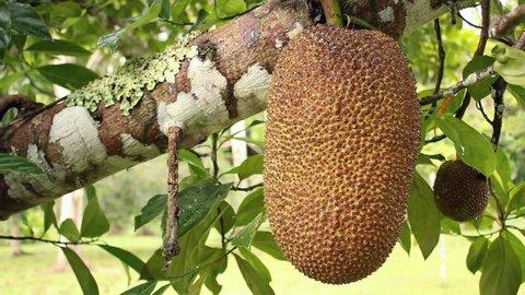 Soursop or Guanabana (Annona muricata). Tropical fruit tree growing in the Ecuadorian Amazon.