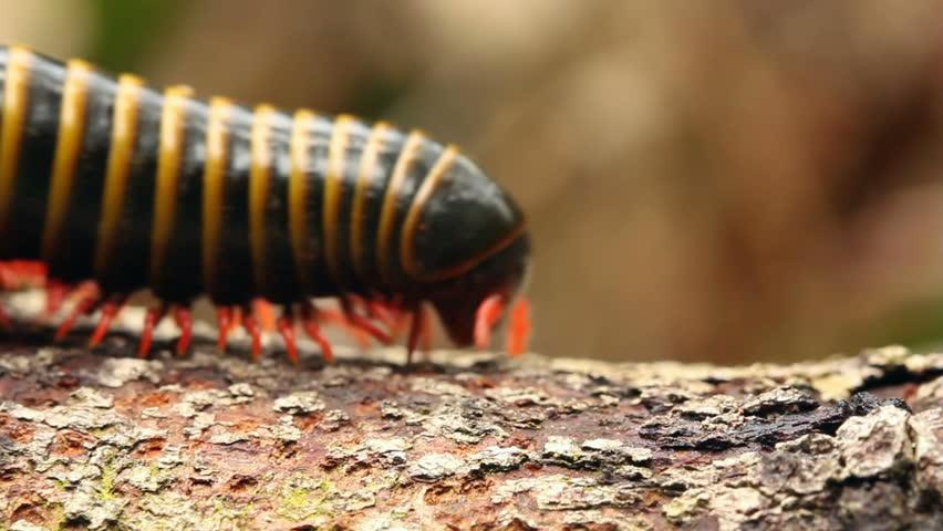 Large millipede walks along a branch. In the rainforest understory, Ecuador.
