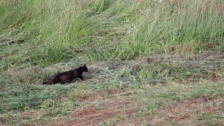 Black domestic cat hunting in the meadow. Stalking and jump, mouse caught.