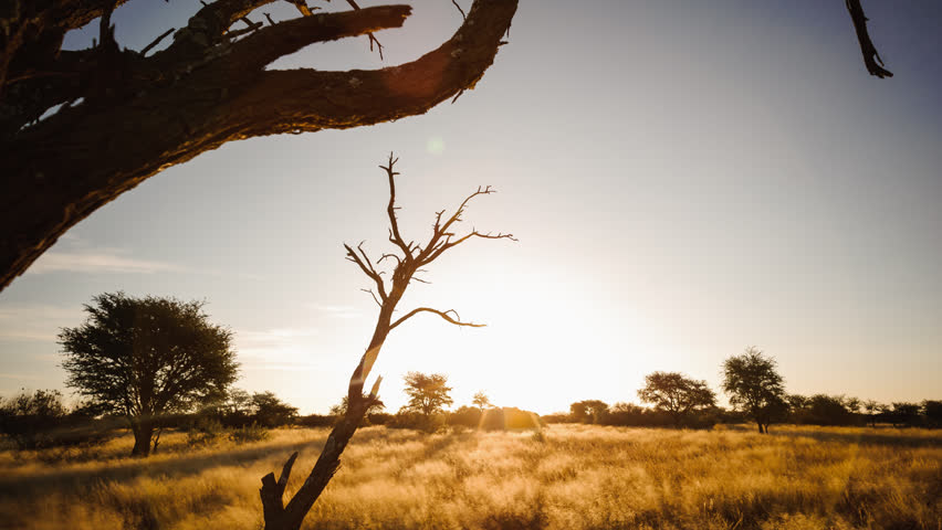 Linear timelapse moving past dead acacia tree revealing an African sunset in the Kalahari bushveld with grasslands and scattered thorn trees, towards the sun with flare at 45 degree angle down. flare.