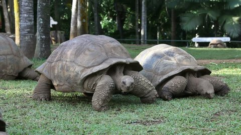 two Big Seychelles turtles in park. Mauritius.