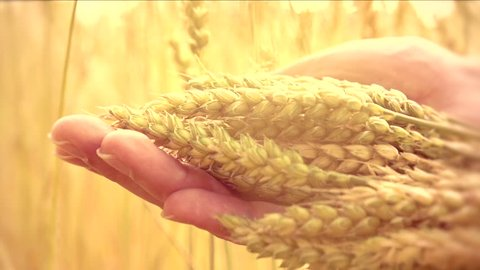 Man's hand touching wheat ears closeup. Hand of farmer touching wheat corn agriculture. Harvest concept. Harvesting. Slow motion video footage 240 fps. Full HD 1920x1080