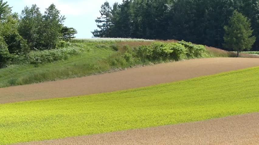 Line yellow rape fields and wheat fields._1 / Shooting date; July 21,2014 Location;. Hokkaido,Japan /  Rape fields of bright colors planted like a line in the vast wheat fields. Countryside of Japan.