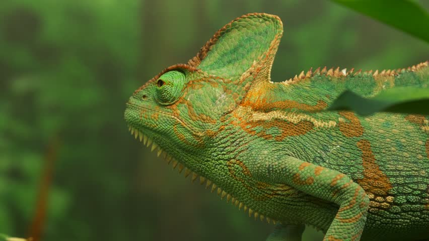 close up of a chameleon lizard looking around