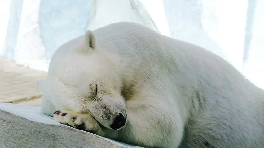 portrait of a sleeping polar bear in a zoo hd stock footage clip