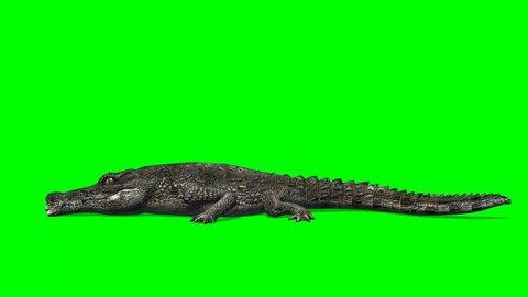 Crocodile Alligator eats - green screen