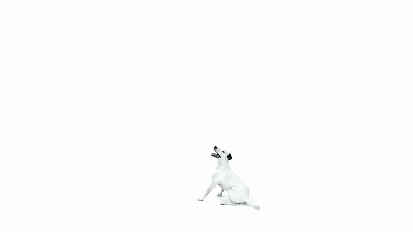 Jack Russell Terrier jumping in front of white background