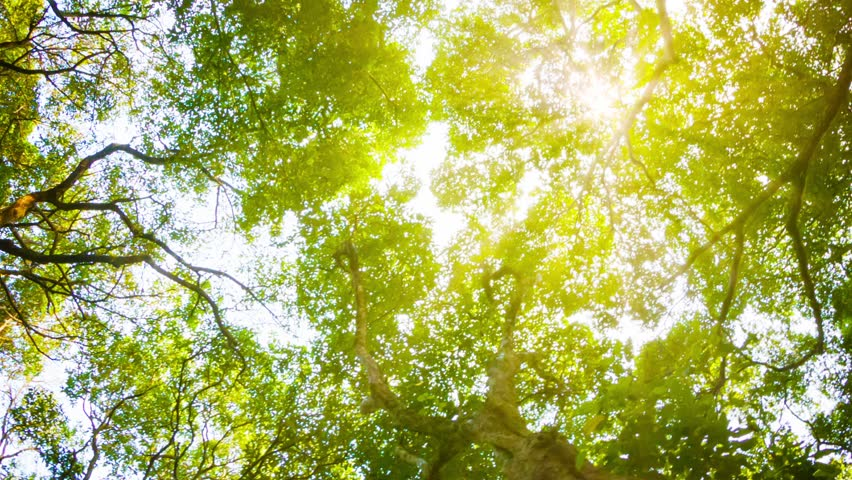 Video 1080p - Crowns of trees with bright afternoon sun and rays. | Shutterstock HD Video #7040746