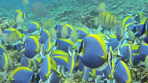 A swarm of Powderblue Surgeonfish swimming in shaol water. The camera moves right through the family. The short clip is filmed in HQ at the coast of the dream beach Anse Source d'Argent, Seychelles.