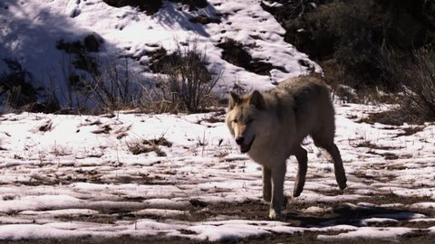 A white wolf trots through a snowy forest in slow motion.