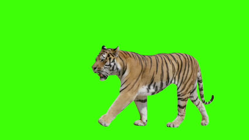 Tiger walking across the frame on green screen. Shot with Red Dragon. Alpha channel included. | Shutterstock HD Video #7148293