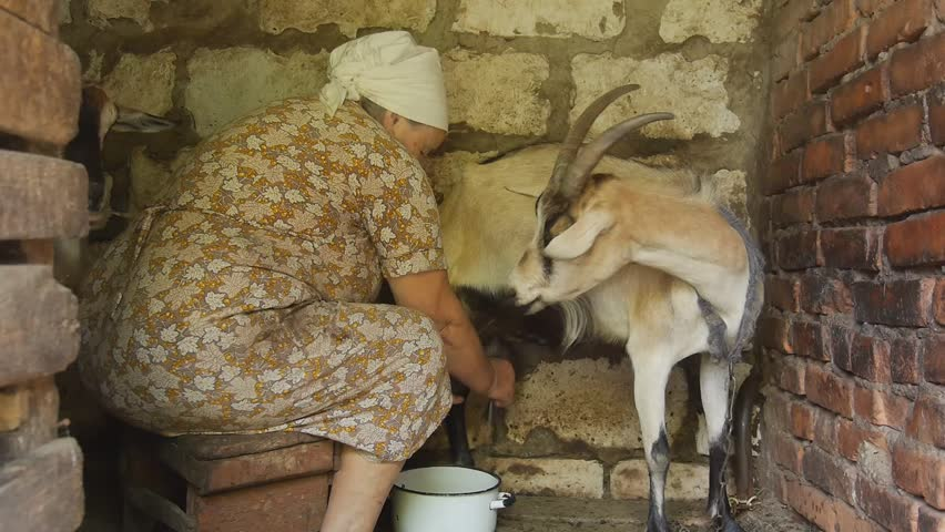 Woman milking a goat. Very old woman collects milk from a goat on the farm. Goats in the household give a lot of milk. Very Helpful milk goats