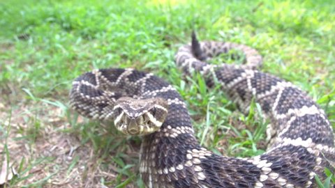 Eastern Diamondback Rattlesnake (Crotalus adamanteus) Striking camera and the venom flies, a highly venomous snake of southeastern United States. Slow-motion, 1/8th natural speed.