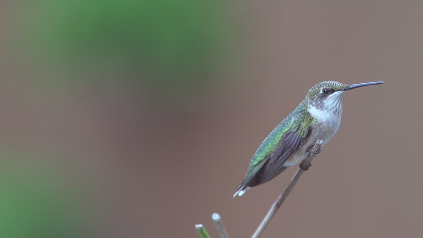 Ruby-throated Hummingbird (Archilochus colubris) female. The only hummingbird to breed east of the Mississippi River. Summer in Georgia. Filmed at 240 FPS, rendered at 1/8th natural speed. | Shutterstock HD Video #7211908