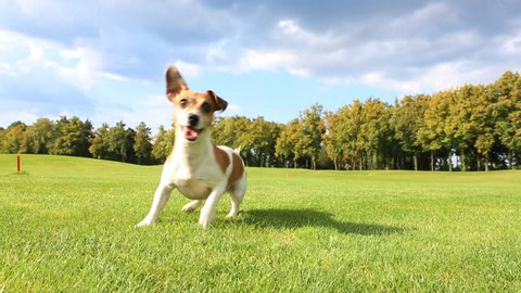 Active funny dog .Jack Russell Terrier dancing and jumping with anticipation, running after a frisbee, bring and chases. Bright of Sunny day, walking on the grass