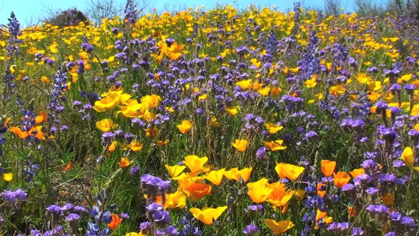 Dazzling Yellow And Purple Wildflowers Brighten Arizona Desert In Rare
