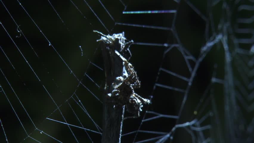 Close up of a Portia Spider crawling down a branch