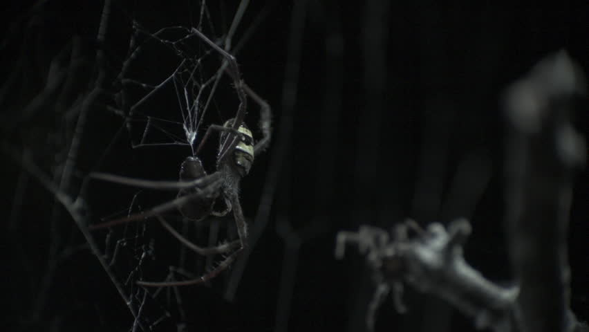 St Andrew's Cross Spider protecting its prey from Portia Spider in slow motion