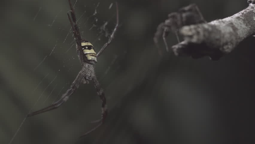 Portia Spider jumping to attack St Andrew's Cross Spider in slow motion