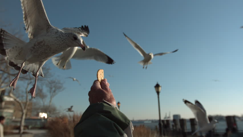 Seagull grabs cracker from outstretched hand in the park. slow motion. pov. | Shutterstock HD Video #7385365