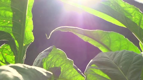 Tobacco. Lush Tobacco plants growing on the farm. High speed camera shot 240 fps. Full HD video footage 1920x1080