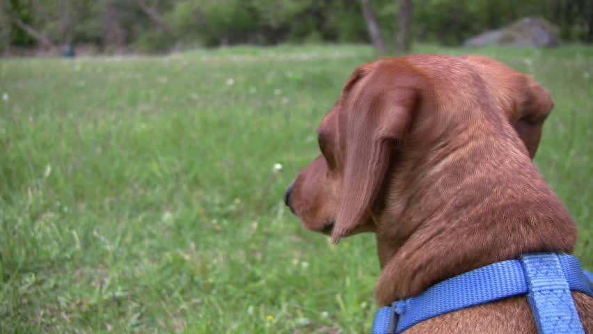 A closeup of the head of an alert miniature Dachshund, as he looks around in a grassy field.