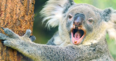 Cute and funny Koala bear yawning 4k close up video