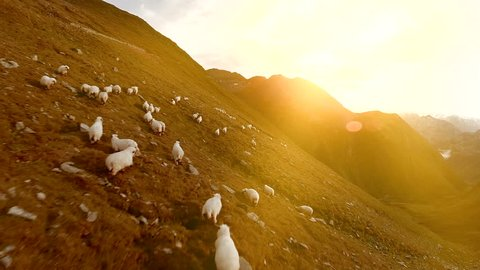 flock of sheep grazing in mountain landscape. aerial view of nature scenery at sunset sky