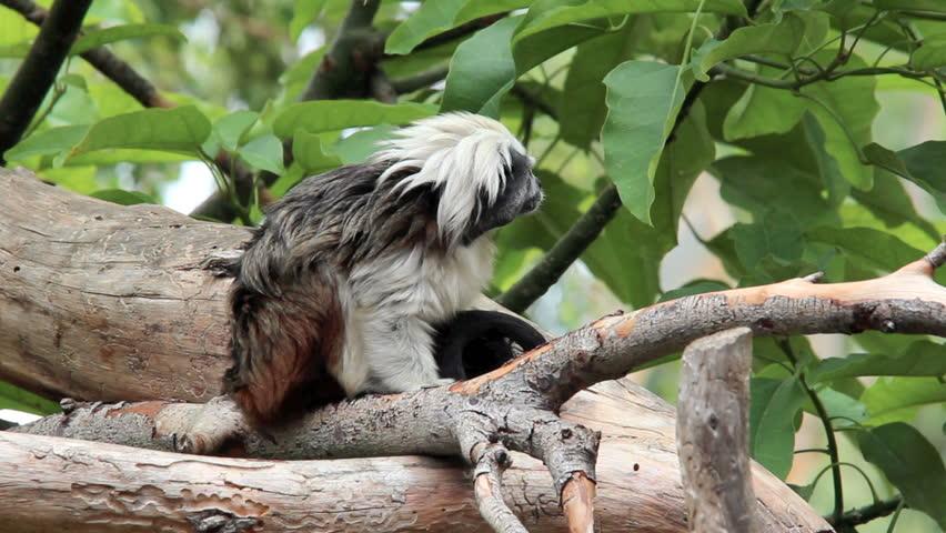 Tamarin monkey looking at camera