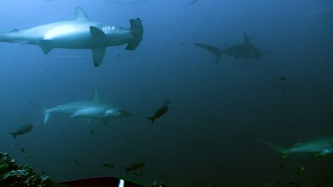 underwater shot of schooling hammerhead sharks, low angle shot, Cocos island, Pacific Ocean