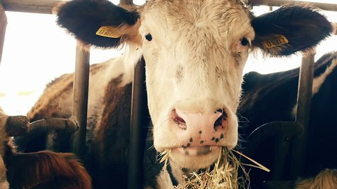 cows eating hay in the barn: shed, cowshed, cattleshed, farm, farmer