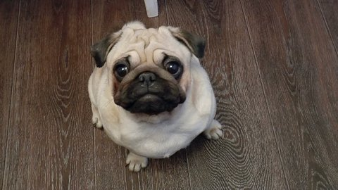 The video shows dog-pug looking into camera