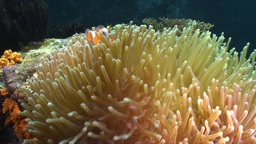 False clown fish in its anemone
