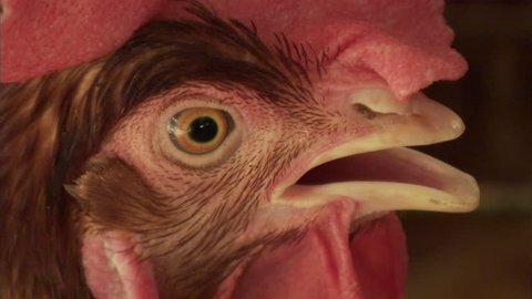 Chicken in cage during testing for bird flu at a Vietnamese chicken farm.