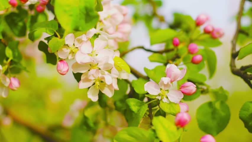 Blooming apple tree | Shutterstock HD Video #7751335