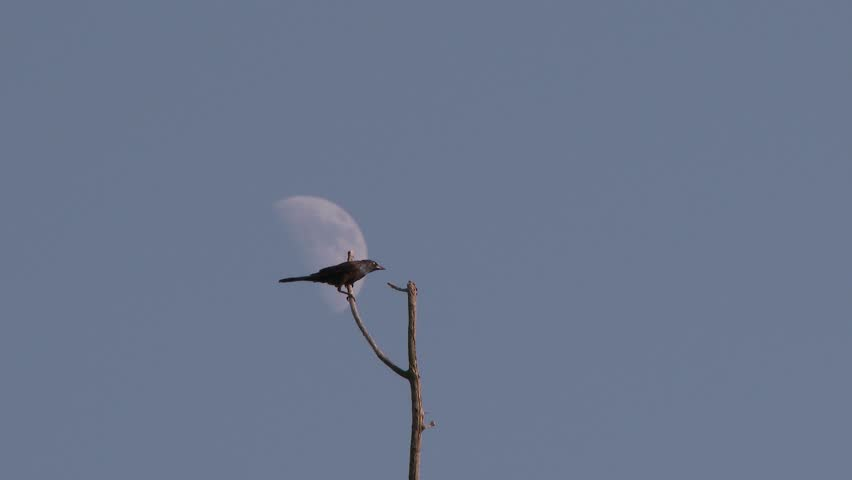 4K UHD 60fps - Common Grackle (Quiscalus quiscula) perched on top of branch with moon in background and taking wing | Shutterstock HD Video #7757698