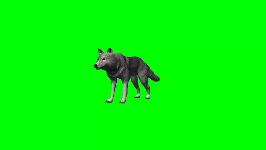 Wolf stands and looks around - 4 different views - without shadow - green screen | Shutterstock HD Video #7777801