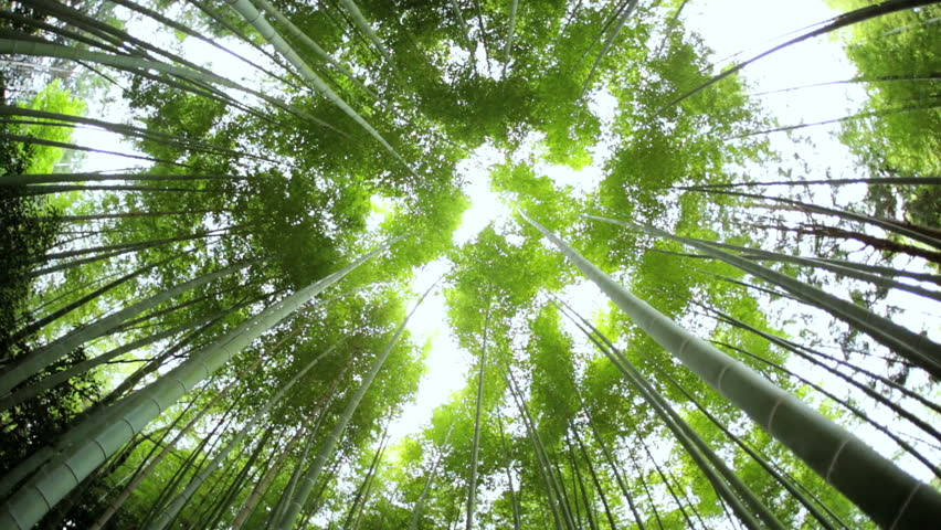 Bamboo Forest Natural Environment Construction Material Sunlight Sagano Japanese Canopy Harvest Travel Arashiyama Kyoto Japan Asia Stock Footage Video ... & Bamboo Forest Natural Environment Construction Material Sunlight ...