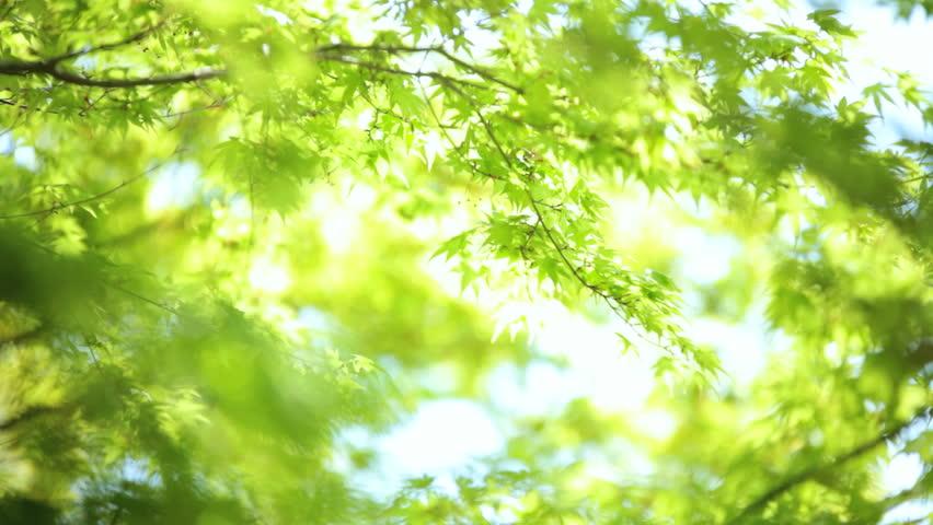 Japanese Maple tree wind green coloured leafs Koch Sanso garden by Arashiyama Park and Sagano Bamboo grove Kyoto Japan