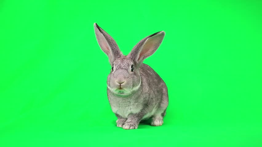 Rabbit  on green screen | Shutterstock Video #7835551