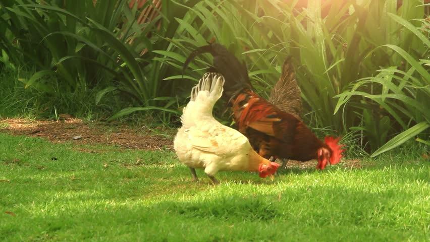 Free Range Cock and Hens. Sunlight. HD. 1920x1080