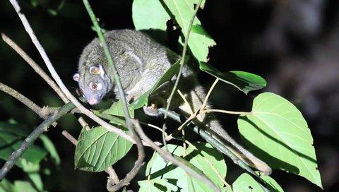 Green Ringtail Possum (Pseudochirops archeri) in Australia