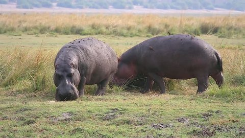 Wild Hippos (Hippopotamus amphibius) feed & mark territory by spraying dung in Chobe River, Botswana, Africa. Confrontations can turn deadly. These are most dangerous & territorial animals in Africa!