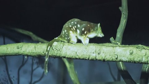 a nighttime shot of a spotted quoll in the branch of a tree