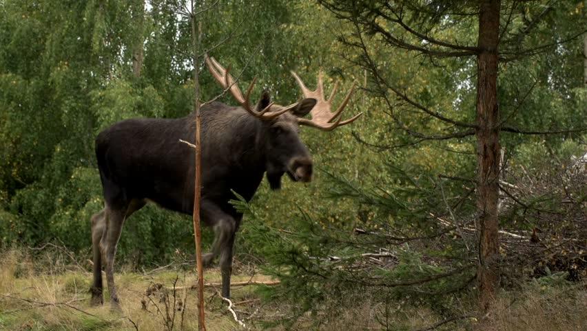 Moose in autumn - sweden - rutting season