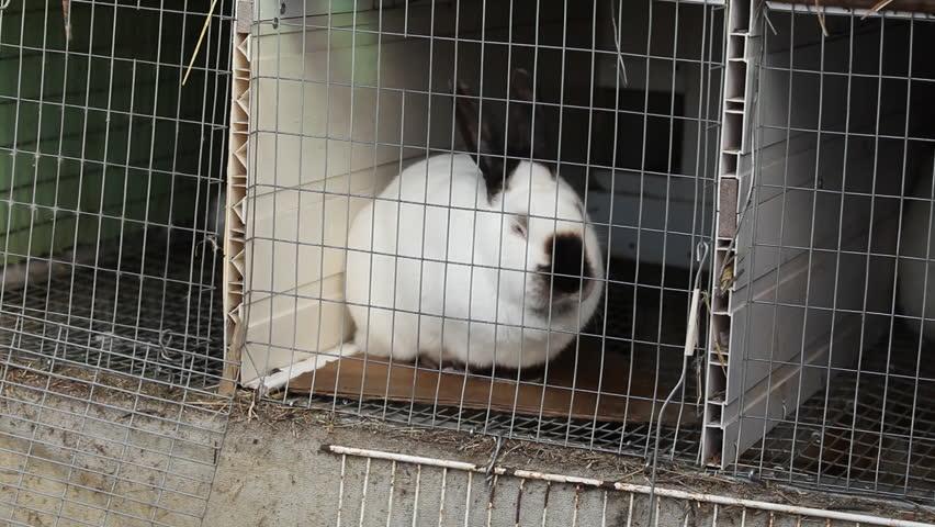 White rabbit - HD stock video clip