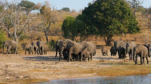elephants herd family  walking on river bank of zambesi river chobe national park botswana africa uhd 4k