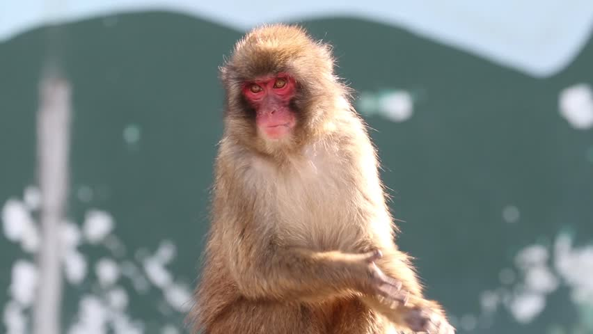 Snow monkey clap for food.