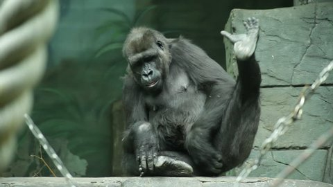 A gorilla female, sitting on stone background and cleaning her vulva without any shame. Human like monkey with expressive face in shaggy black fur. Wild beauty in the amazing HD footage.