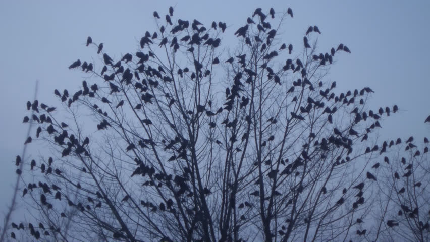 Birds Ravens sitting on a tree, a lot of birds and frightened all the crows fly from the tree. Autumn, winter tree without leaves with black birds. Crows fly away from the tree without leaves